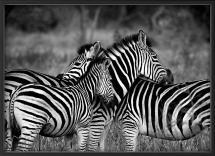 Nordic Poster Zebra group-hugs Poster